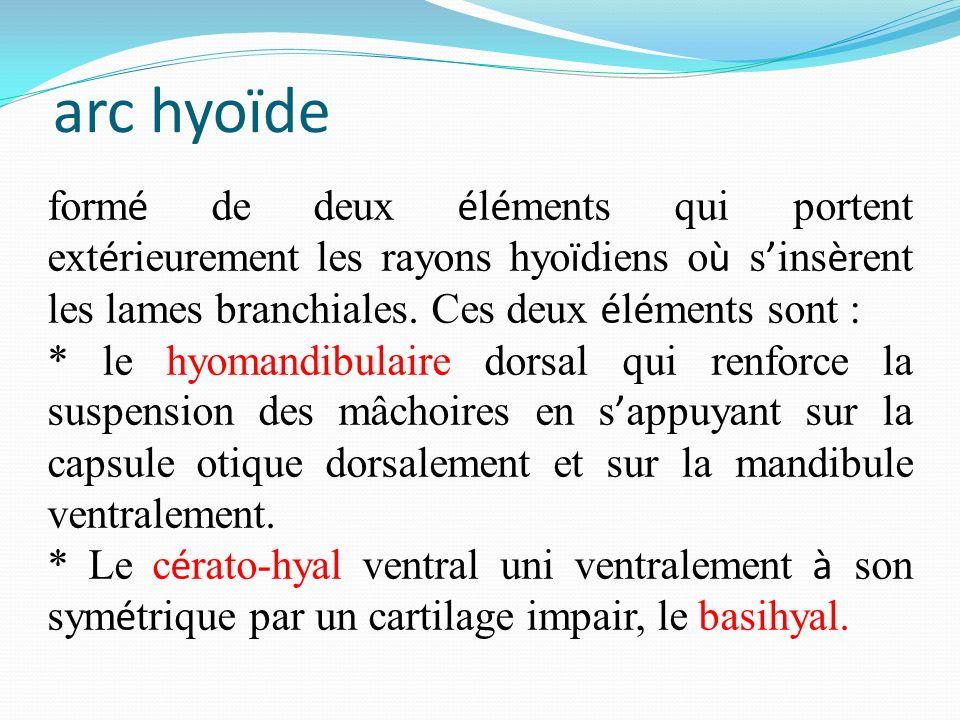 arc hyoïde form é de deux é l é ments qui portent ext é rieurement les rayons hyo ï diens o ù s ins è rent les lames branchiales. Ces deux é l é ments