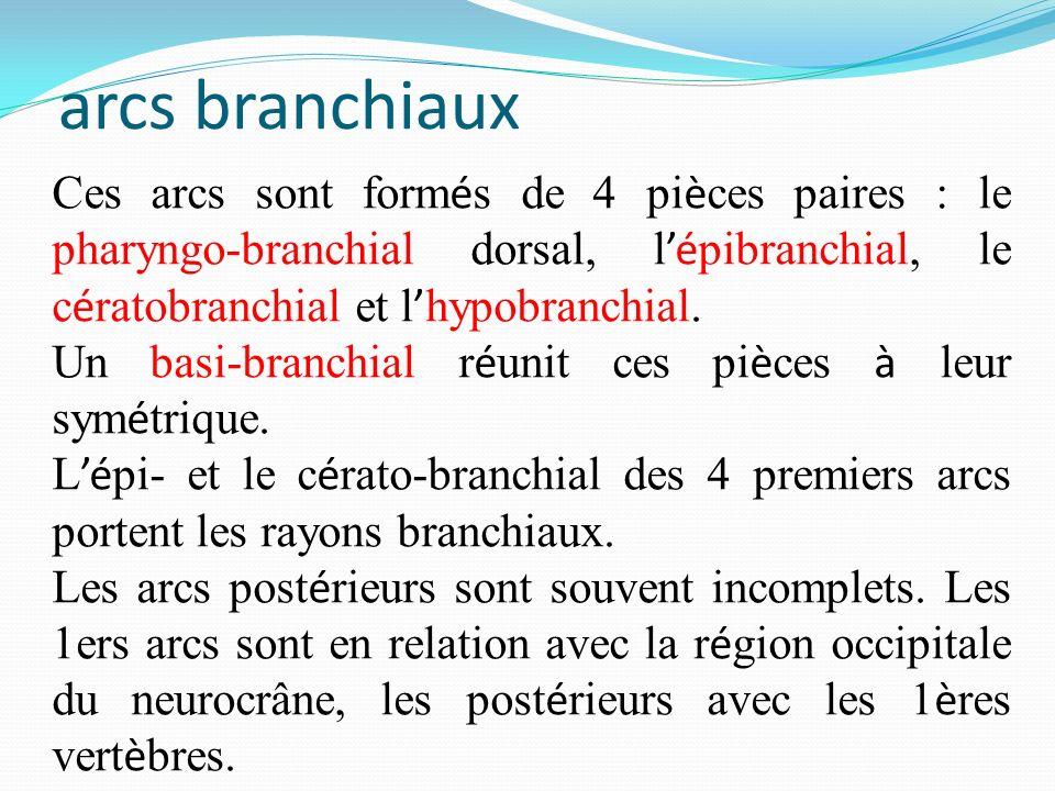 arcs branchiaux Ces arcs sont form é s de 4 pi è ces paires : le pharyngo-branchial dorsal, lé pibranchial, le c é ratobranchial et l hypobranchial. U