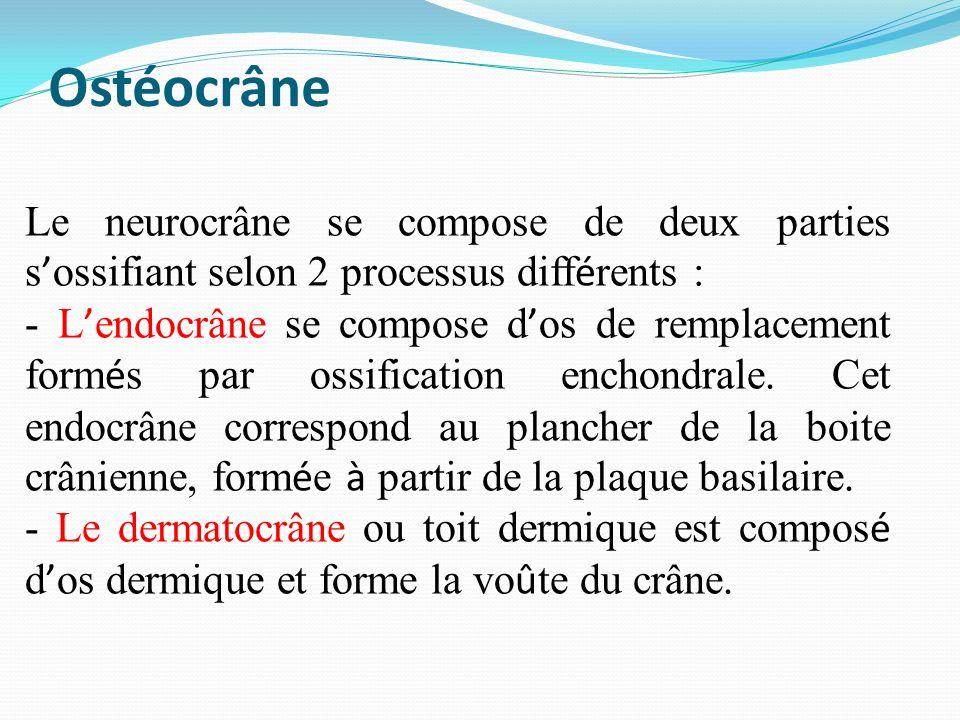 Ostéocrâne Le neurocrâne se compose de deux parties s ossifiant selon 2 processus diff é rents : - L endocrâne se compose d os de remplacement form é