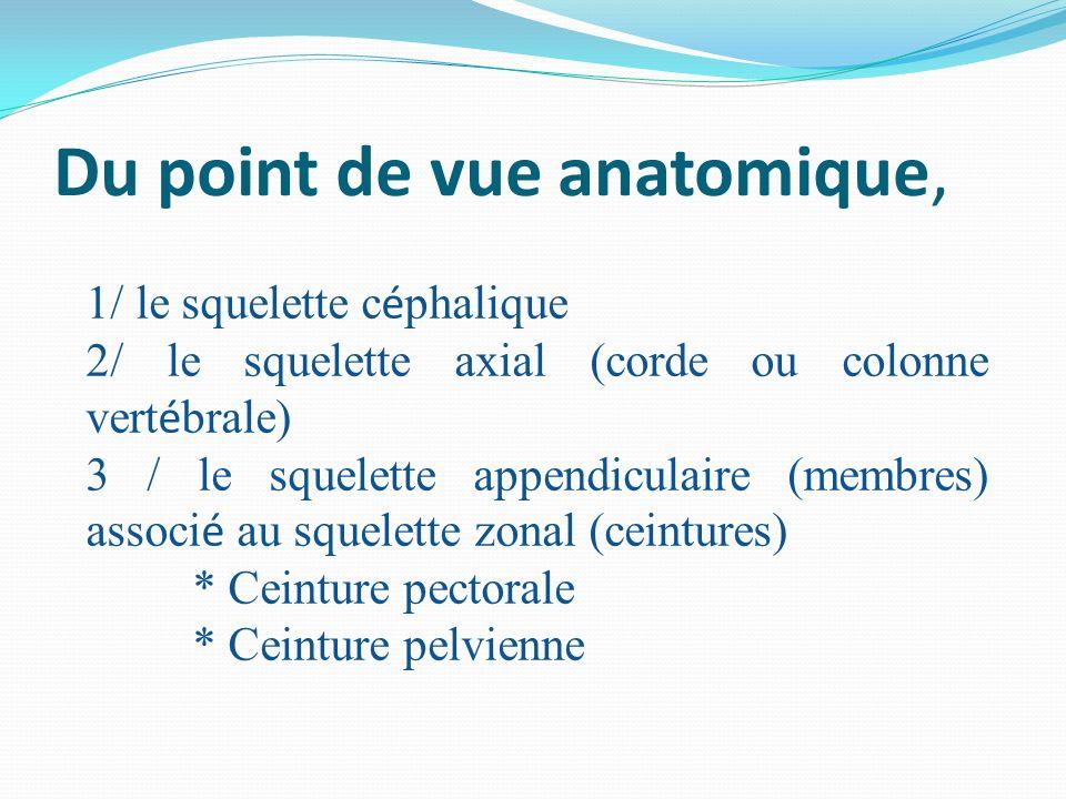 Du point de vue anatomique, 1/ le squelette c é phalique 2/ le squelette axial (corde ou colonne vert é brale) 3 / le squelette appendiculaire (membre