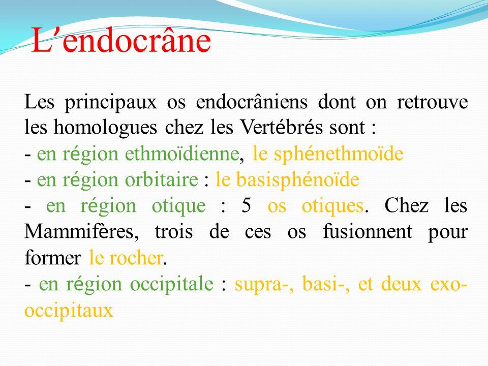 L endocrâne Les principaux os endocrâniens dont on retrouve les homologues chez les Vert é br é s sont : - en r é gion ethmo ï dienne, le sph é nethmo