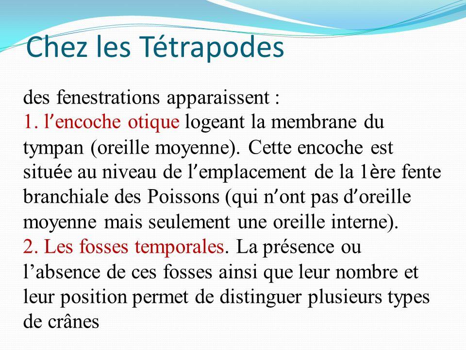 Chez les Tétrapodes des fenestrations apparaissent : 1. l encoche otique logeant la membrane du tympan (oreille moyenne). Cette encoche est situ é e a