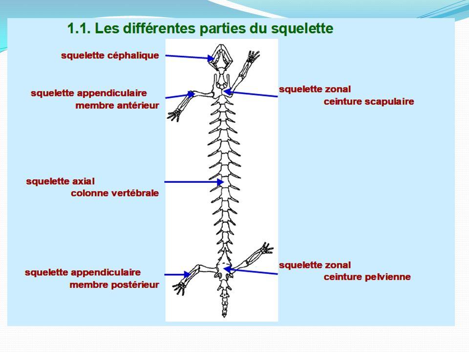 Du point de vue histologique trois types de tissus squelettiques : le tissu conjonctif, le tissu cartilagineux le tissu osseux.