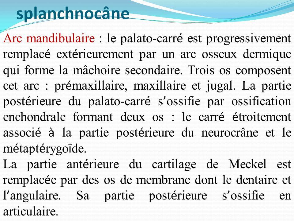 splanchnocâne Arc mandibulaire : le palato-carr é est progressivement remplac é ext é rieurement par un arc osseux dermique qui forme la mâchoire seco