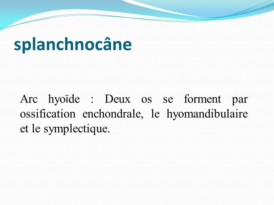 Arc hyo ï de : Deux os se forment par ossification enchondrale, le hyomandibulaire et le symplectique.