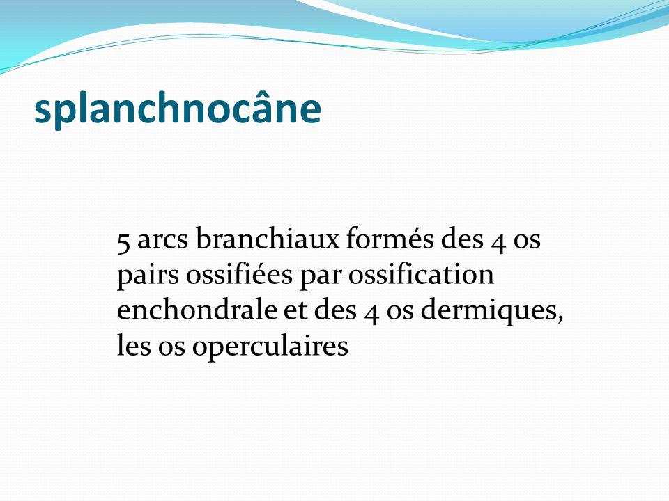splanchnocâne 5 arcs branchiaux formés des 4 os pairs ossifiées par ossification enchondrale et des 4 os dermiques, les os operculaires