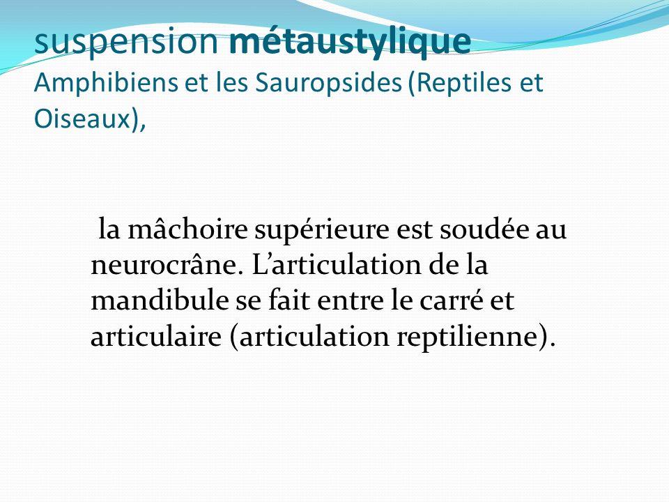suspension métaustylique Amphibiens et les Sauropsides (Reptiles et Oiseaux), la mâchoire supérieure est soudée au neurocrâne. Larticulation de la man