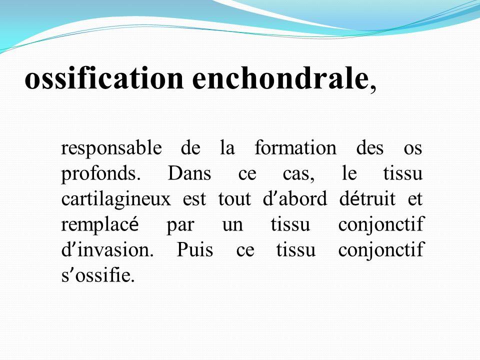 ossification enchondrale, responsable de la formation des os profonds. Dans ce cas, le tissu cartilagineux est tout d abord d é truit et remplac é par