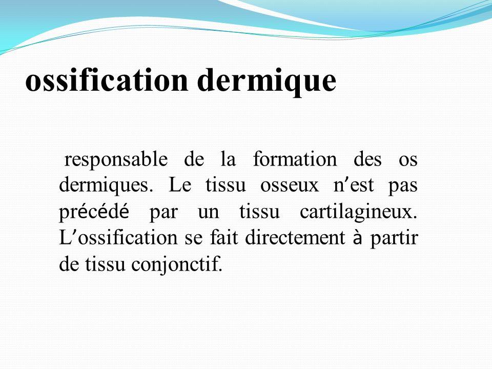 ossification dermique responsable de la formation des os dermiques. Le tissu osseux n est pas pr é c é d é par un tissu cartilagineux. L ossification