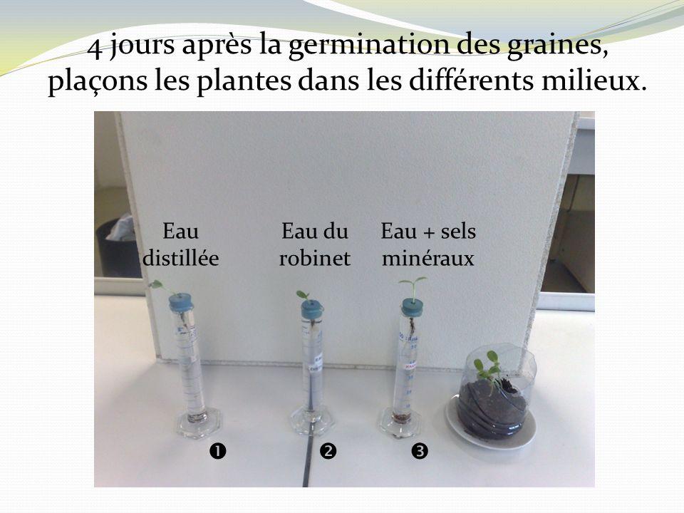 4 jours après la germination des graines, plaçons les plantes dans les différents milieux. Eau distillée Eau du robinet Eau + sels minéraux