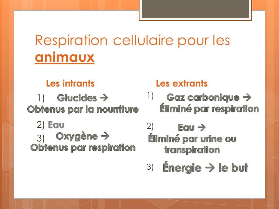 Respiration cellulaire pour les animaux Les intrantsLes extrants 1) Eau 2) Eau 3) 1) 2) 3)