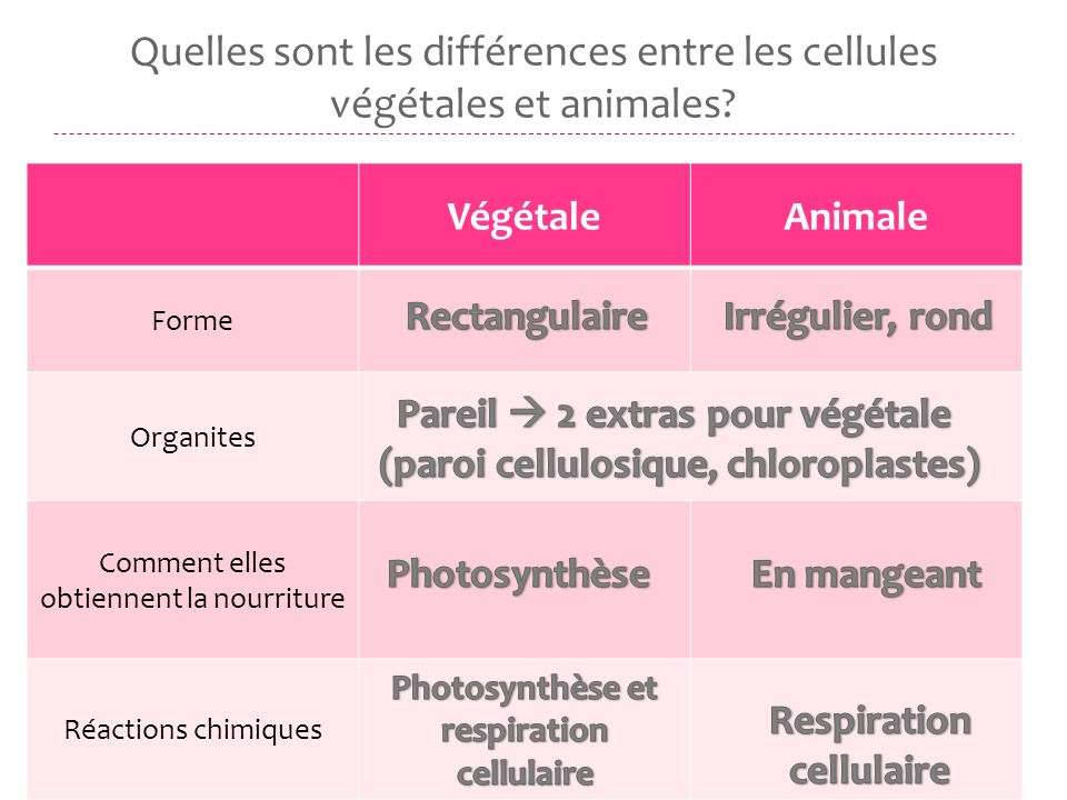 Quelles sont les différences entre les cellules végétales et animales? VégétaleAnimale Forme Organites Comment elles obtiennent la nourriture Réaction