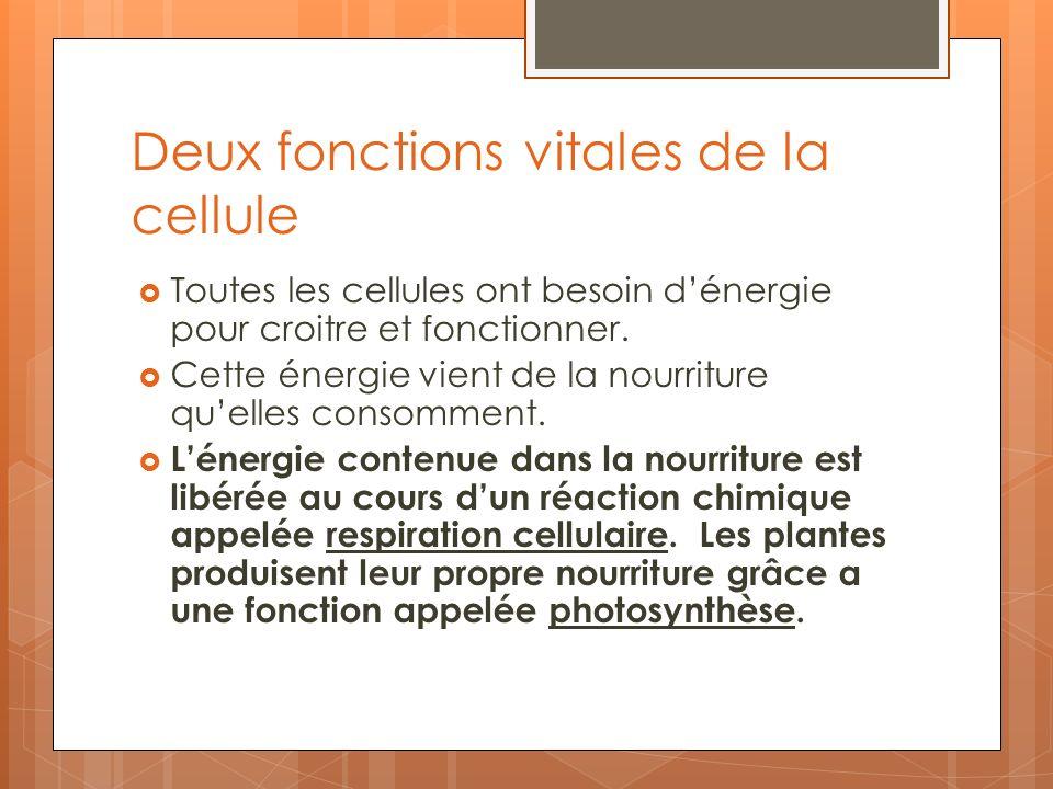Deux fonctions vitales de la cellule Toutes les cellules ont besoin dénergie pour croitre et fonctionner. Cette énergie vient de la nourriture quelles