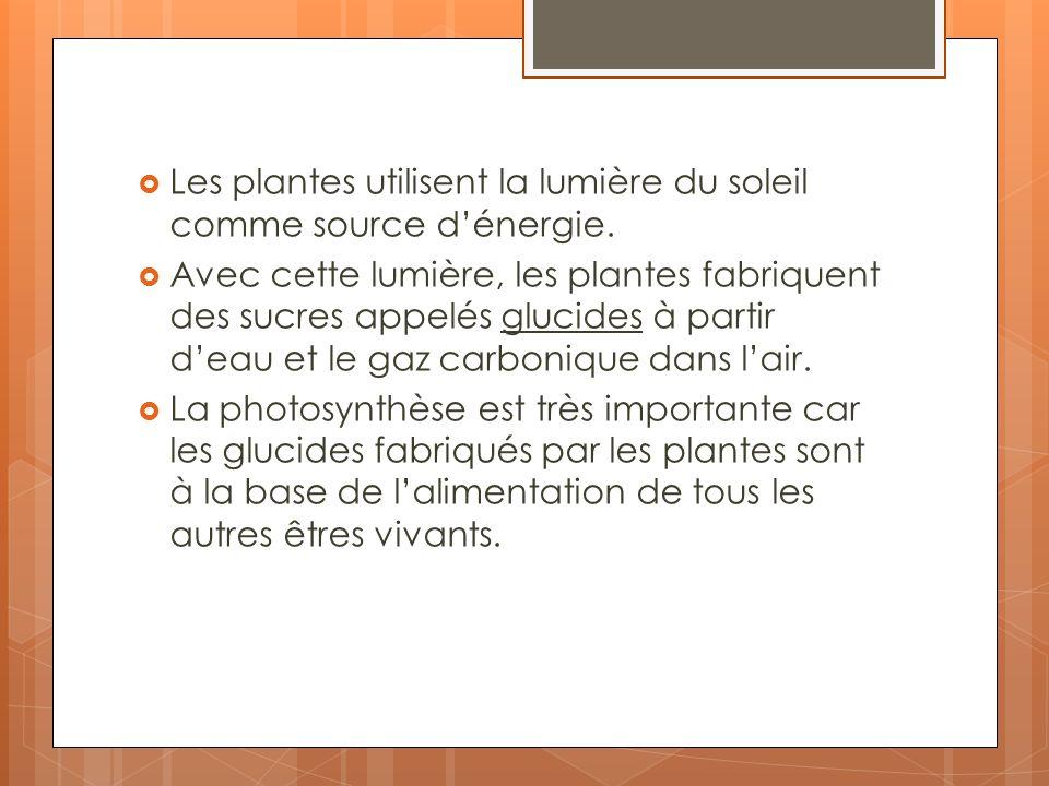 Les plantes utilisent la lumière du soleil comme source dénergie. Avec cette lumière, les plantes fabriquent des sucres appelés glucides à partir deau