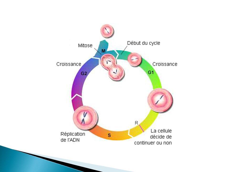 Il y a 4 phase dans la mitose Prophase Métaphase Anaphase Télophase