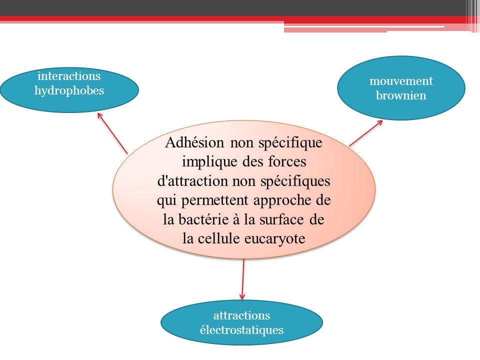 Adhésion non spécifique implique des forces d'attraction non spécifiques qui permettent approche de la bactérie à la surface de la cellule eucaryote a