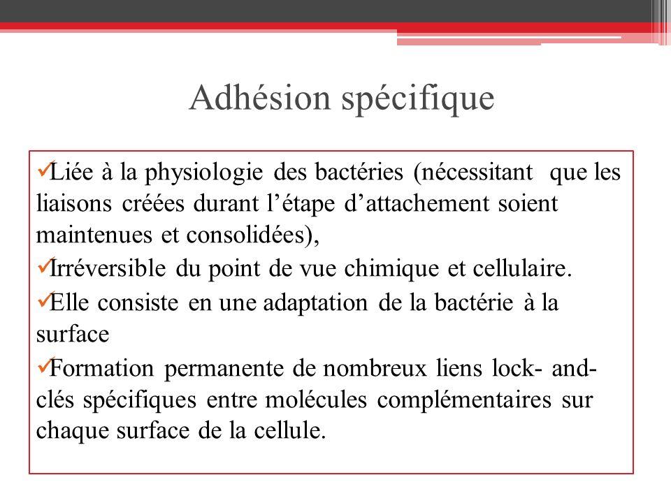 Adhésion spécifique Liée à la physiologie des bactéries (nécessitant que les liaisons créées durant létape dattachement soient maintenues et consolidé