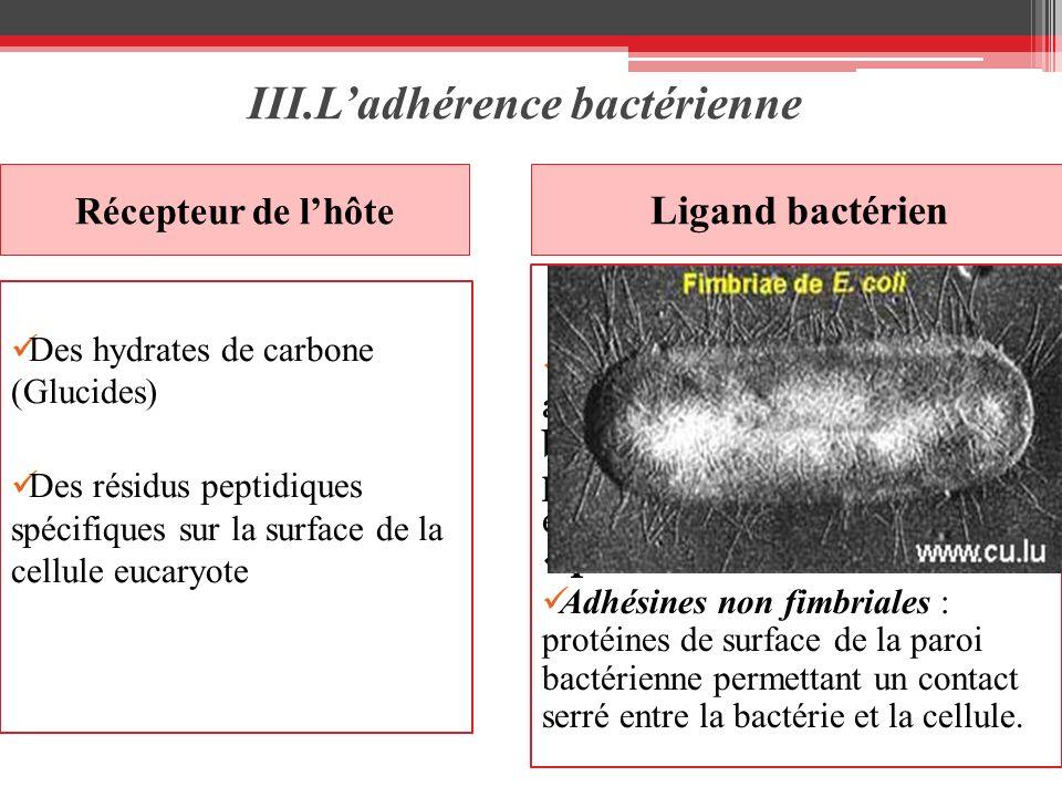III.Ladhérence bactérienne Récepteur de lhôte Ligand bactérien Des hydrates de carbone (Glucides) Des résidus peptidiques spécifiques sur la surface d
