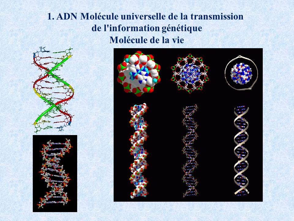 1. ADN Molécule universelle de la transmission de l'information génétique Molécule de la vie