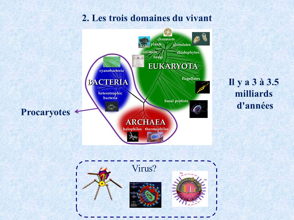 Il y a 3 à 3.5 milliards d'années 2. Les trois domaines du vivant Virus? Procaryotes
