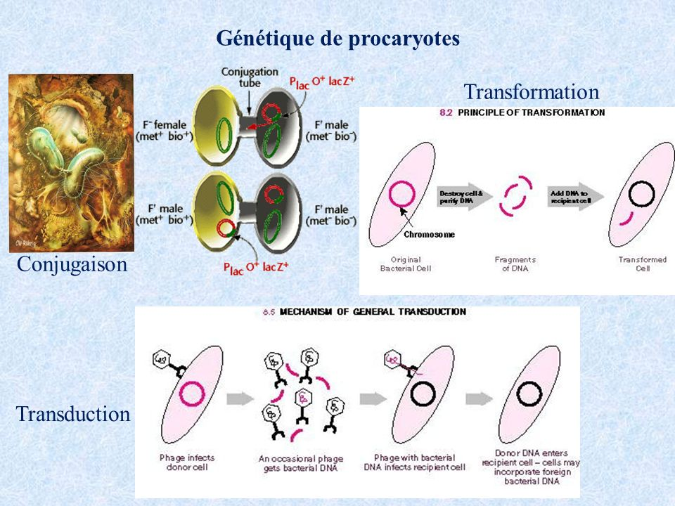 Génétique de procaryotes Conjugaison Transformation Transduction