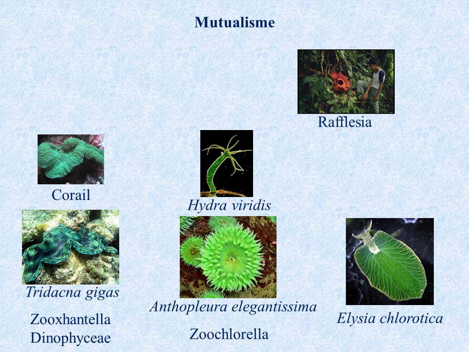 Mutualisme Elysia chlorotica Tridacna gigas Zooxhantella Dinophyceae Corail Zoochlorella Anthopleura elegantissima Hydra viridis Rafflesia
