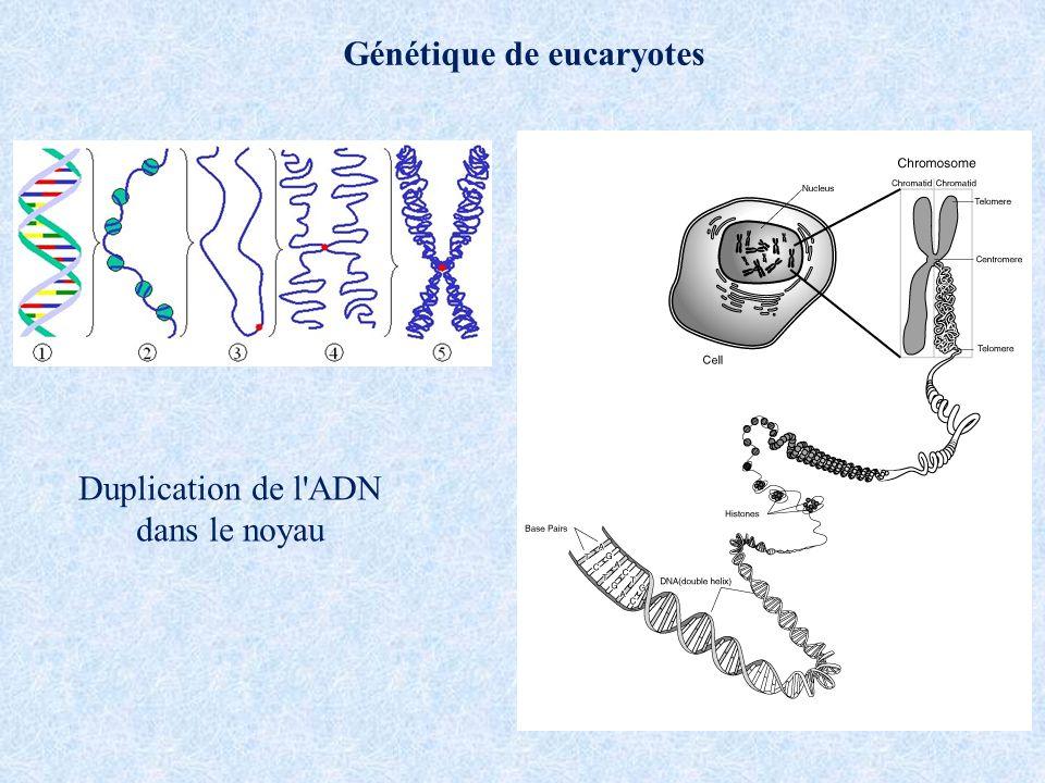 Génétique de eucaryotes Duplication de l'ADN dans le noyau