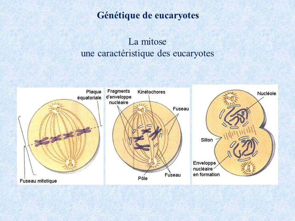 Génétique de eucaryotes La mitose une caractéristique des eucaryotes