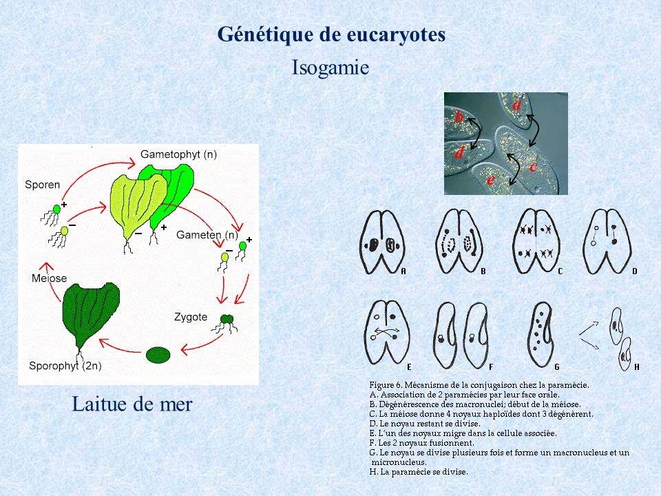 Isogamie Génétique de eucaryotes a b d c e Laitue de mer