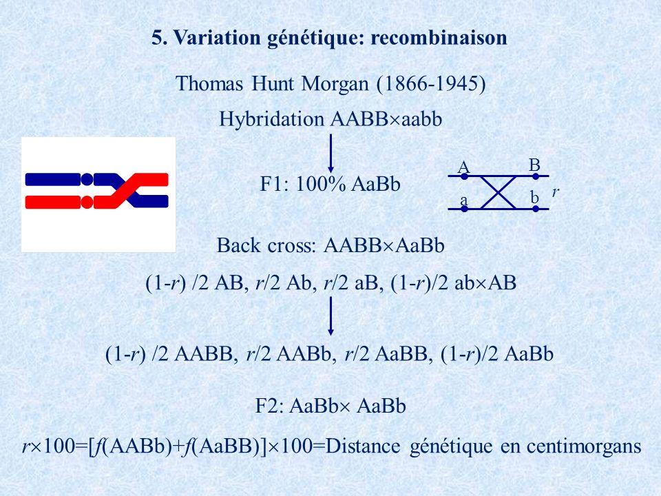 Hybridation AABB aabb F1: 100% AaBb F2: AaBb AaBb Back cross: AABB AaBb A B a b r (1-r) /2 AB, r/2 Ab, r/2 aB, (1-r)/2 ab AB (1-r) /2 AABB, r/2 AABb,