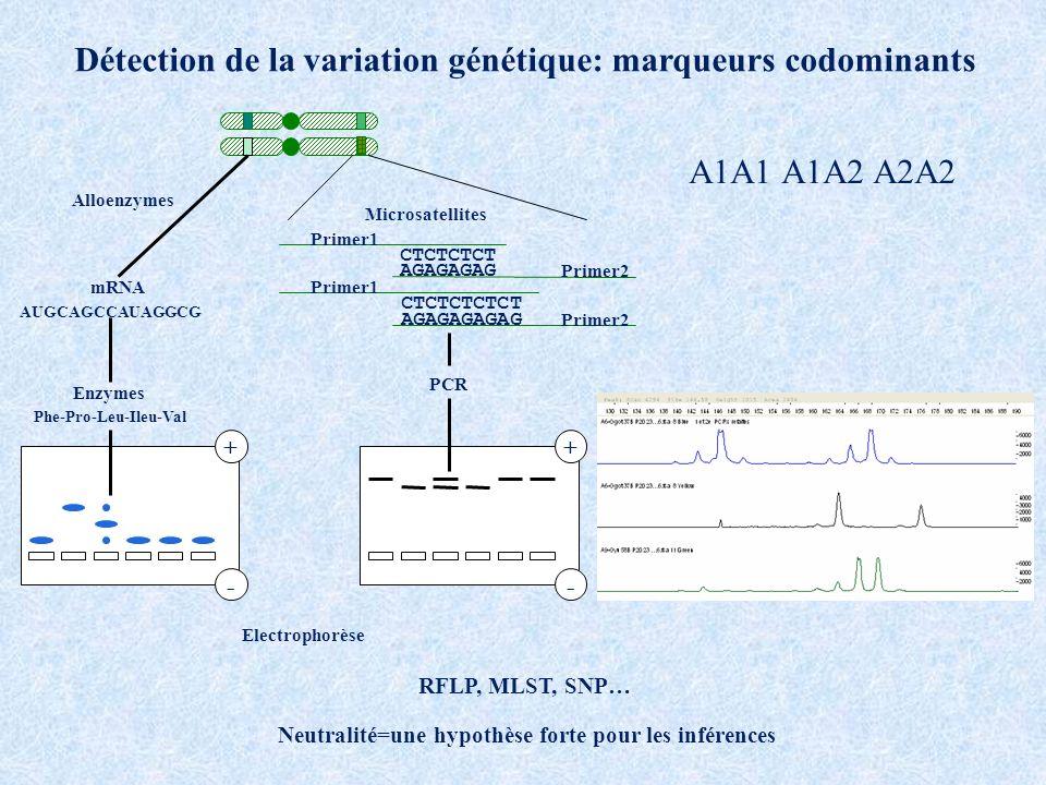 Enzymes mRNA +- CTCTCTCT AGAGAGAG Primer1 Primer2 PCR CTCTCTCTCT AGAGAGAGAG Primer1 Primer2 + - Microsatellites Electrophorèse AUGCAGCCAUAGGCG Phe-Pro