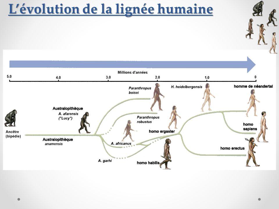 Lévolution de la lignée humaine