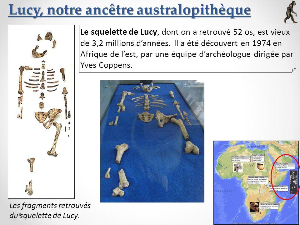 Lucy, notre ancêtre australopithèque Le squelette de Lucy, dont on a retrouvé 52 os, est vieux de 3,2 millions dannées. Il a été découvert en 1974 en