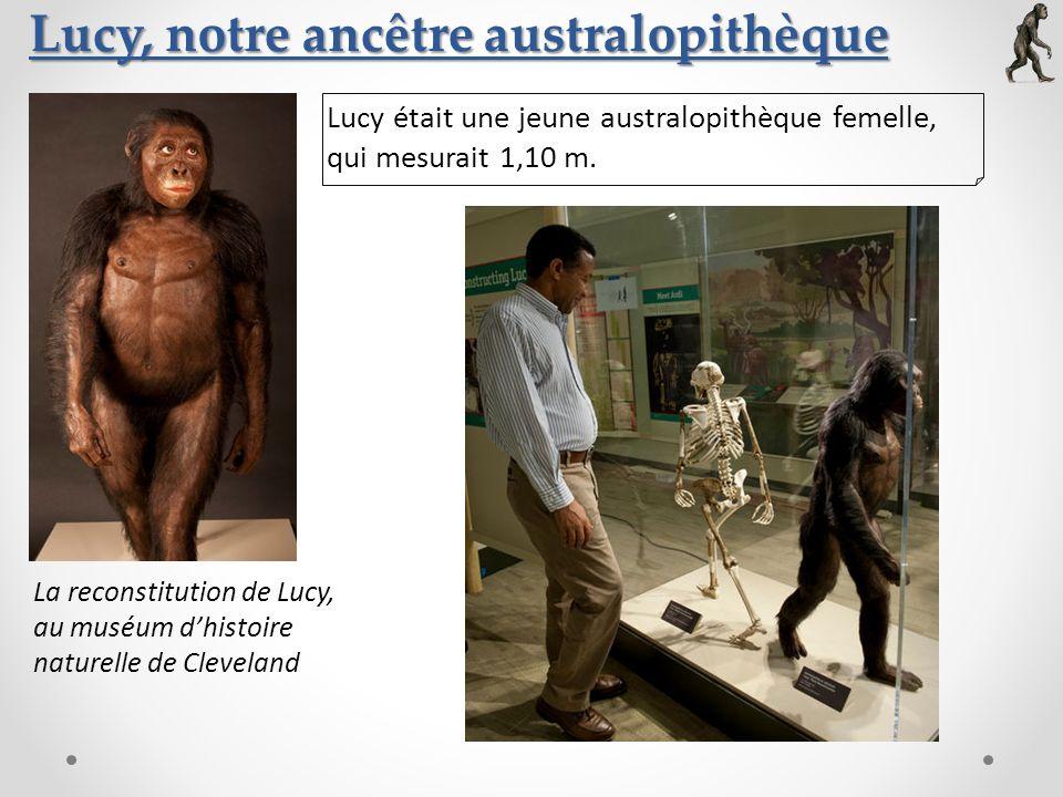 Lucy, notre ancêtre australopithèque La reconstitution de Lucy, au muséum dhistoire naturelle de Cleveland Lucy était une jeune australopithèque femel