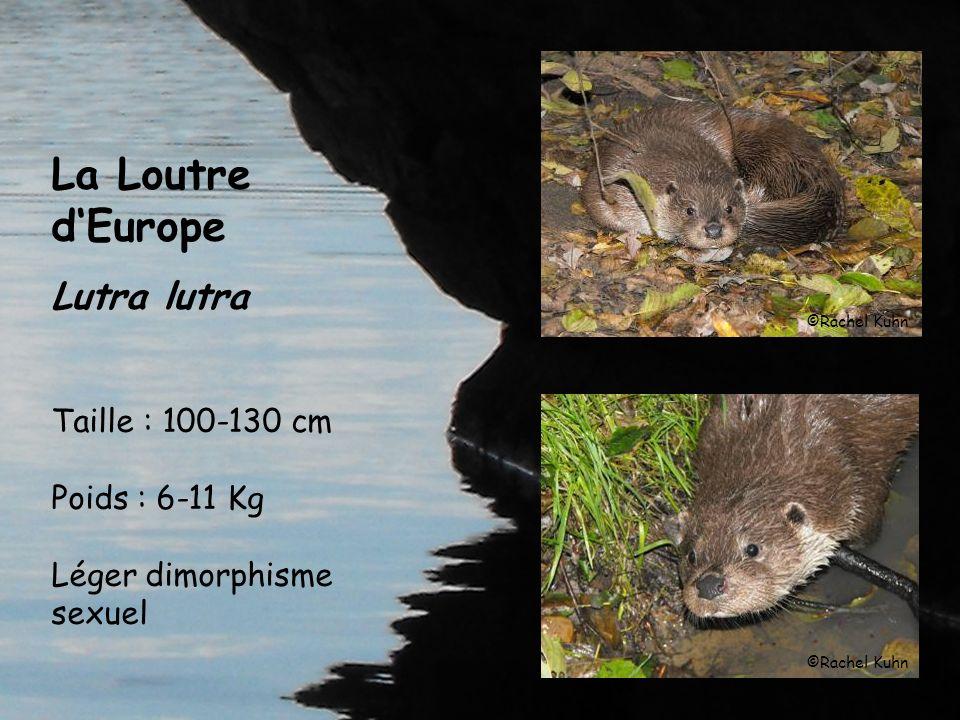 La Loutre dEurope Lutra lutra Taille : 100-130 cm Poids : 6-11 Kg Léger dimorphisme sexuel ©Rachel Kuhn