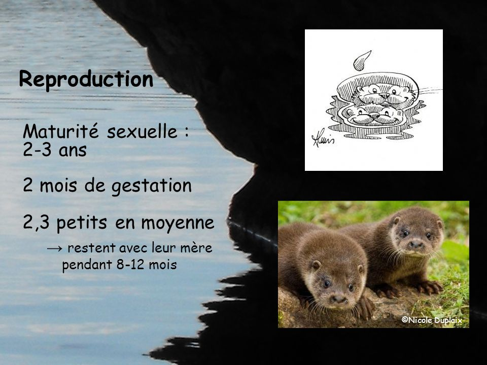 Guide Loutre dEurope et gestion des milieux aquatiques Action 15 du PNA À venir en 2013 .