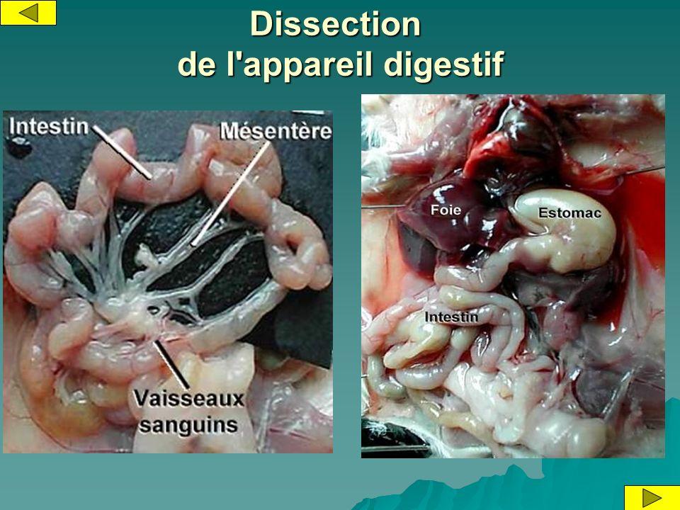 Dissection de l'appareil digestif