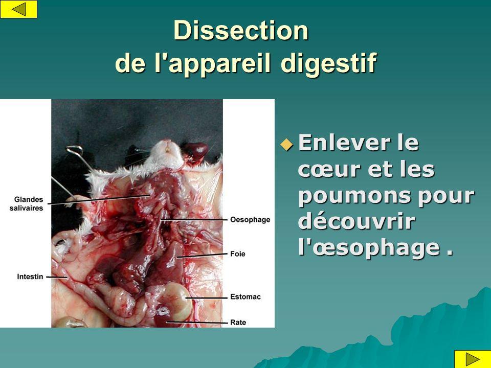 Dissection de l'appareil digestif Enlever le cœur et les poumons pour découvrir l'œsophage. Enlever le cœur et les poumons pour découvrir l'œsophage.