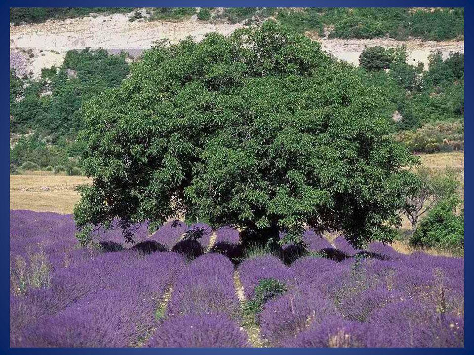 La lavande aspic atteint 1m de hauteur, possède des feuilles très larges, et ne pousse pas au nord des Hautes-Alpes.