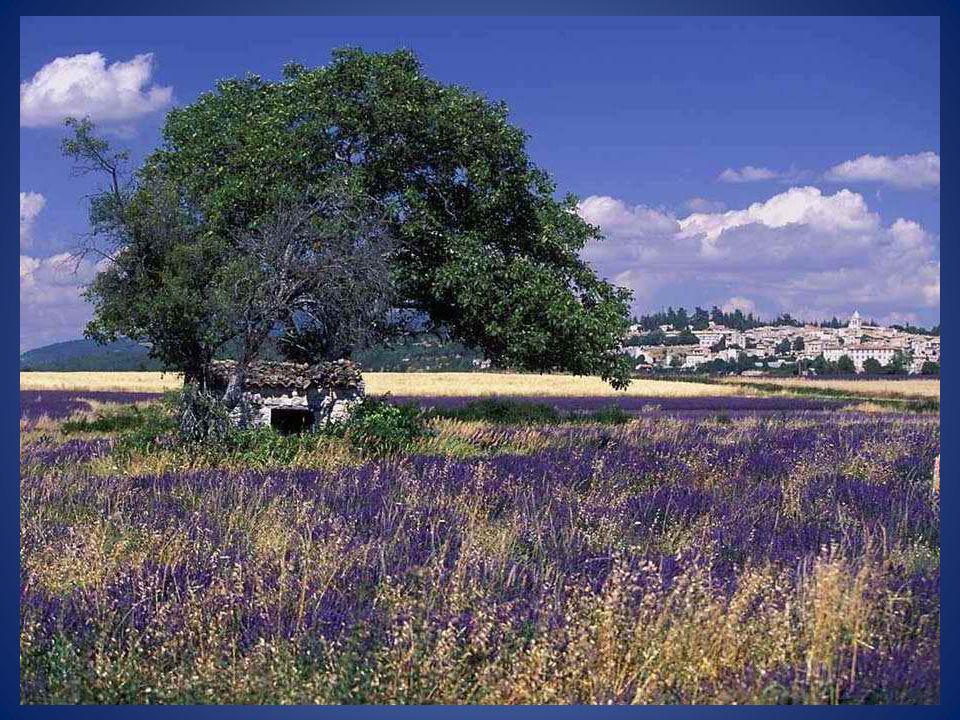 Même si l'on rattache la lavande à la Provence, il faut savoir que la lavande est une plante vivace qui pousse également très bien dans toute la Franc
