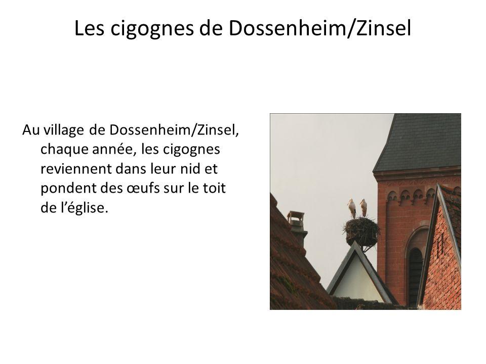Les cigognes de Dossenheim/Zinsel Au village de Dossenheim/Zinsel, chaque année, les cigognes reviennent dans leur nid et pondent des œufs sur le toit