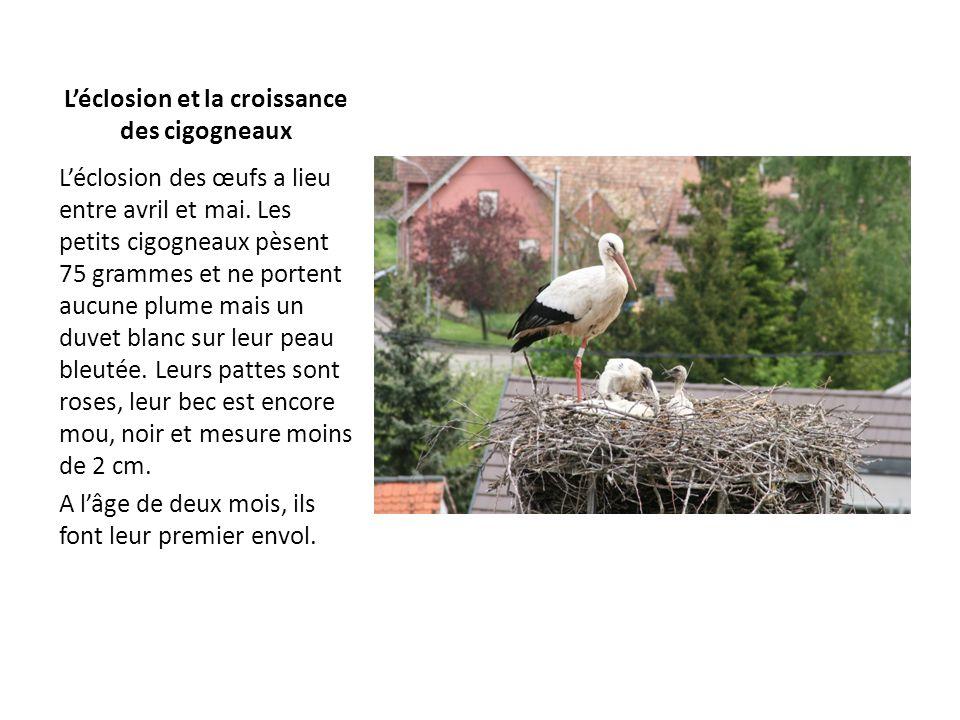 Léclosion et la croissance des cigogneaux Léclosion des œufs a lieu entre avril et mai. Les petits cigogneaux pèsent 75 grammes et ne portent aucune p