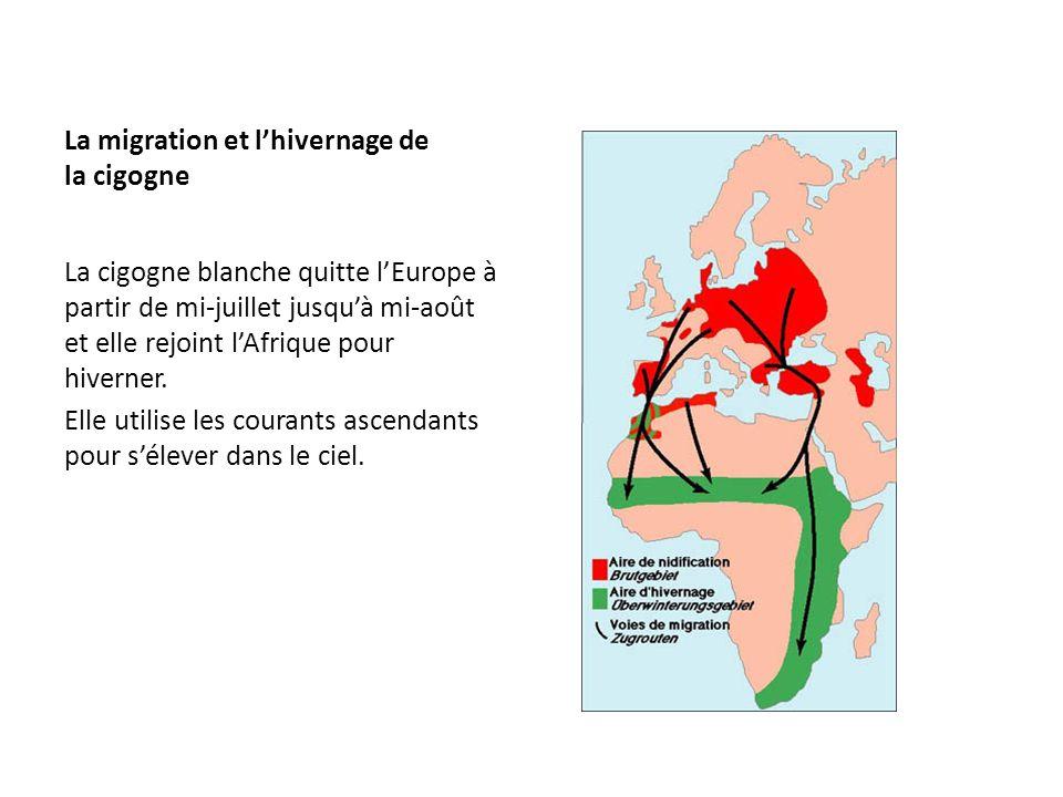 La migration et lhivernage de la cigogne La cigogne blanche quitte lEurope à partir de mi-juillet jusquà mi-août et elle rejoint lAfrique pour hiverne