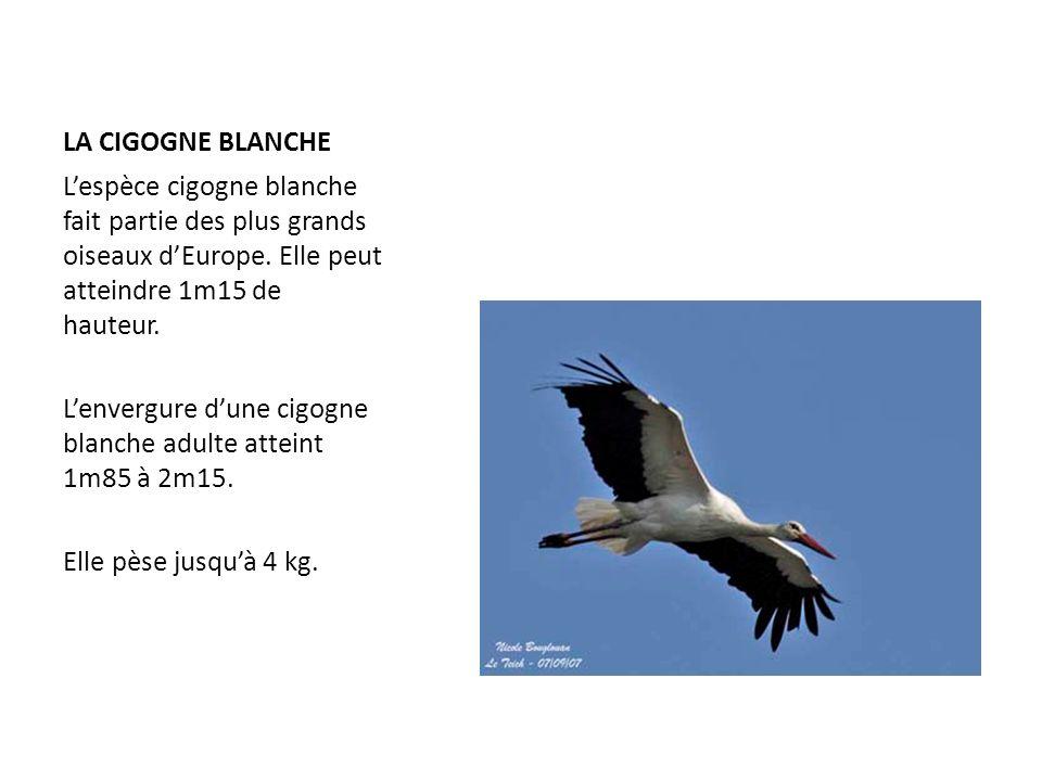 LA CIGOGNE BLANCHE Lespèce cigogne blanche fait partie des plus grands oiseaux dEurope. Elle peut atteindre 1m15 de hauteur. Lenvergure dune cigogne b