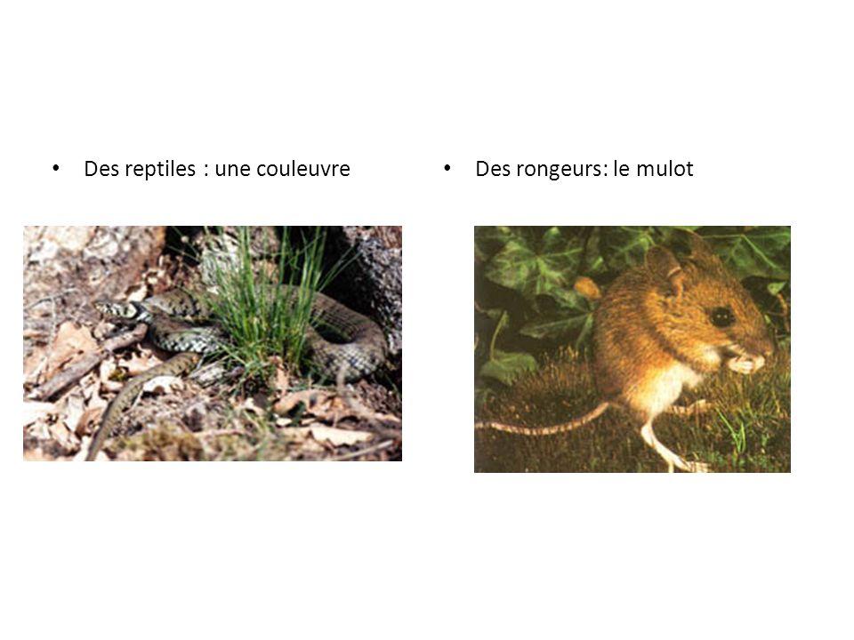 Des reptiles : une couleuvre Des rongeurs: le mulot
