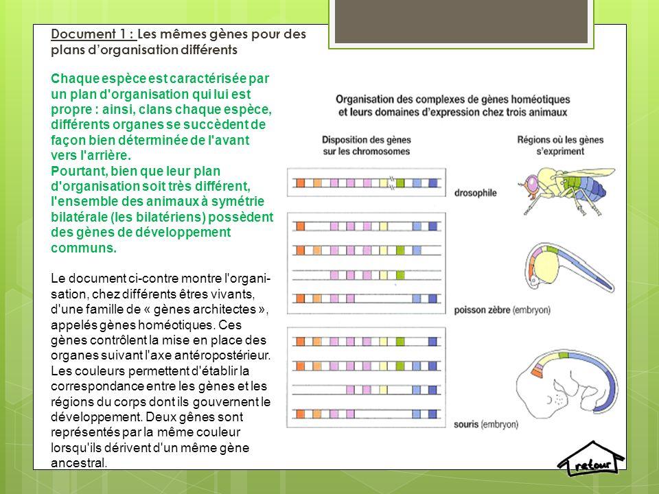 Document 2: Protocole anagène: À l aide du logiciel Anagène: comparer les séquences de gènes homéotiques intervenant dans le développement de l espèce humaine ; comparer ensuite les séquences de gènes homéotiques appartenant à différentes espèces; utiliser les fonctionnalités du logiciel pour déterminer le nombre de différences entre les séquences.