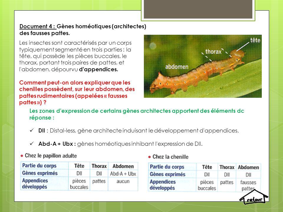 Document 4 : Gènes homéotiques (architectes) des fausses pattes. Les insectes sont caractérisés par un corps typiquement segmenté en trois parties :