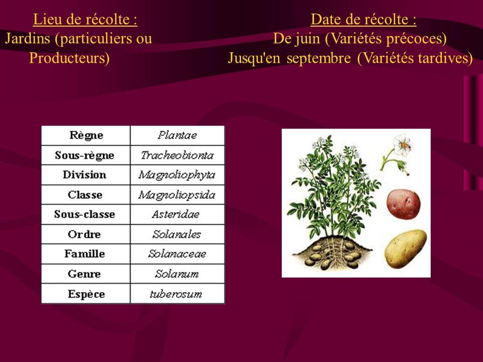 Lieu de récolte : Date de récolte : Jardins (particuliers ou De juin (Variétés précoces) Producteurs) Jusqu en septembre (Variétés tardives)