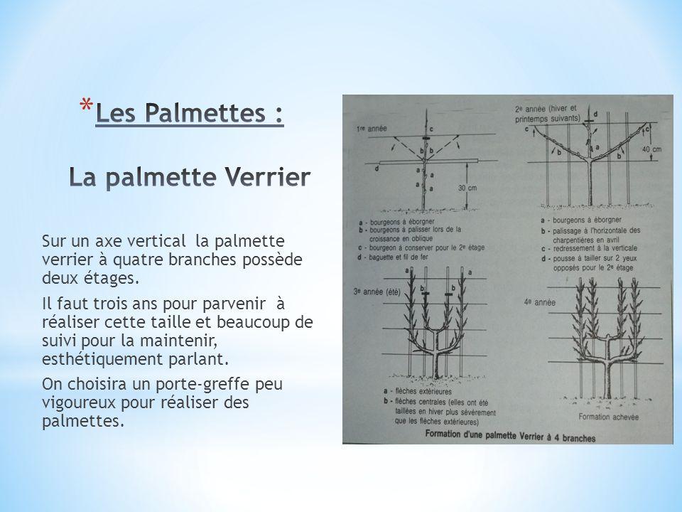 Sur un axe vertical la palmette verrier à quatre branches possède deux étages. Il faut trois ans pour parvenir à réaliser cette taille et beaucoup de