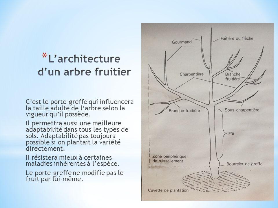 Sur un axe vertical la palmette verrier à quatre branches possède deux étages.